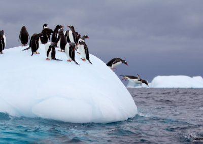 Gentoo Penguin jumping off of iceberg into Antarctic waters