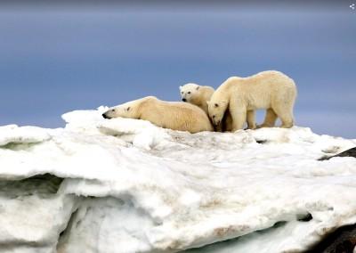Eisbären in Spitzbergen